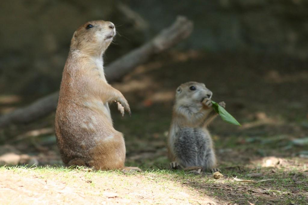 Chien de prairie marmotte
